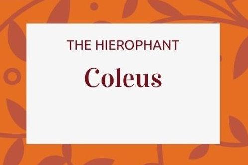 Coleus - Coleus forksohlii