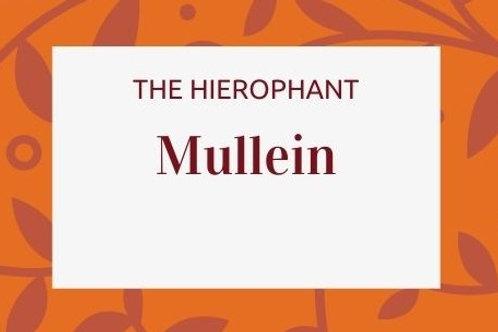 Mullein - Verbascum thapsus