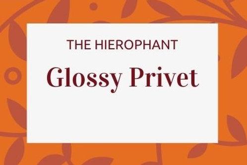 Glossy Privet - Ligustrum lucidum