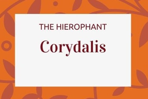Corydalis -