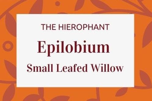 Epilobium (Willor Herb) - Epilobium Parviflorum