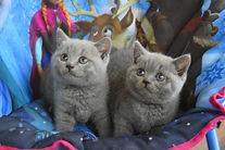 British shorthair kittens breeder Birchfield British
