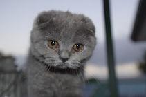 Scottish Fold kitten breeder Birchfield British