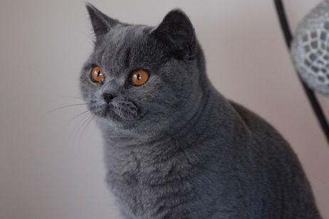 British Shorthair breeder birchfield British kitten