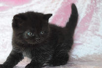 Scottish Shorhair kitten breeder Birchfield British