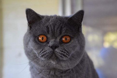 British Shorthair breeder kitten Birchfield British