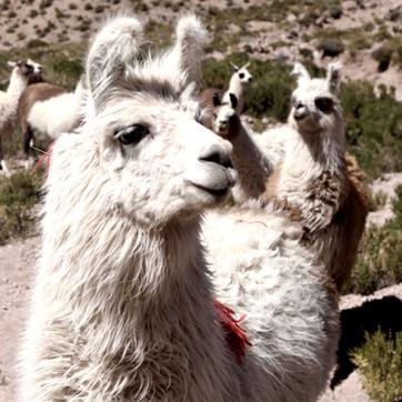 Pudu Puda Travel_Chile_Atacama Llamas.jp