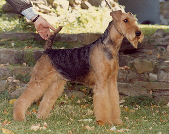 perfect_airedale.png