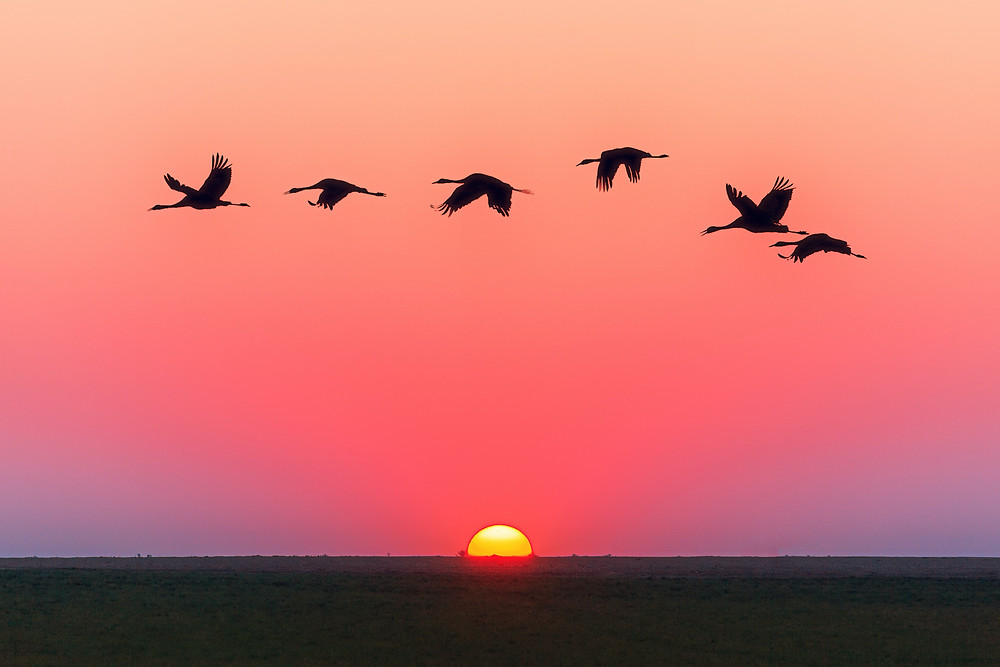 Geese in silhouette above a pink and purple sunset over a flat field on the bottom of the image.