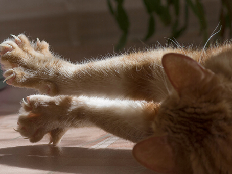The Controversy of Declawing Cats