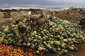cabras comida.jpg