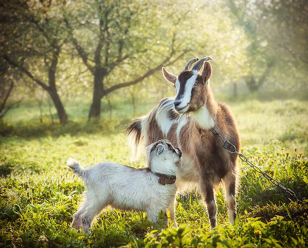 goat with a baby goat in a bright mornin