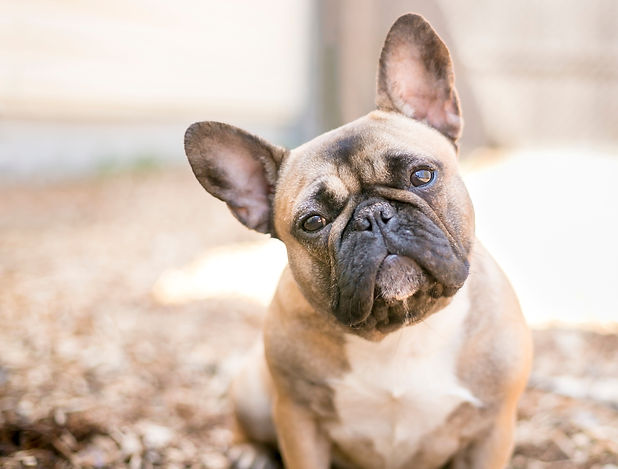 A cute fawn colored French Bulldog.jpg
