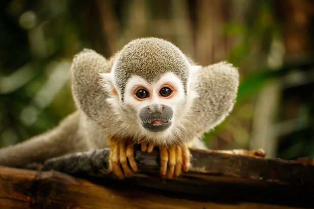 Look at Squirrel monkey in ecuadorian ju