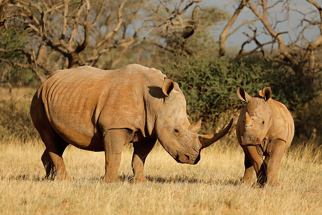 White rhinoceros (Ceratotherium simum) w