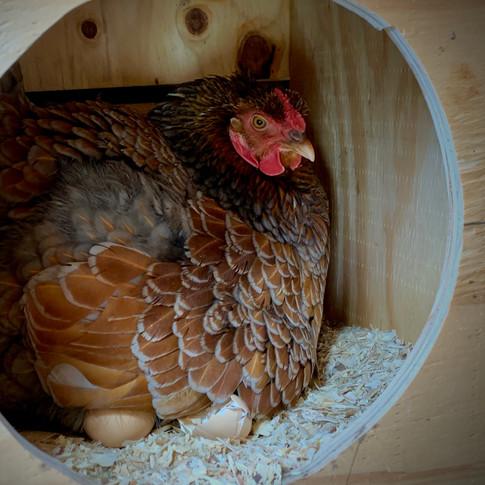 Mature Chickens