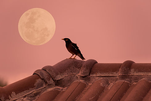 Bird on roof house with full moon in the evening..jpg
