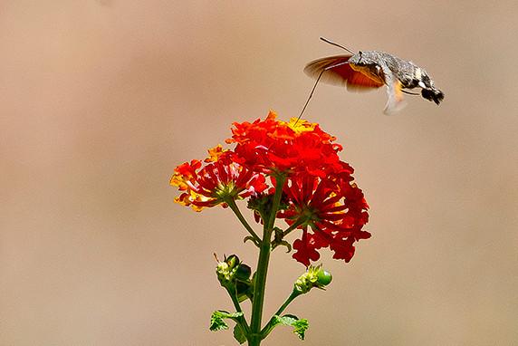 «Moro sphinx» (ou «sphinx colibri») dans l'Alentejo ©Luc Teper