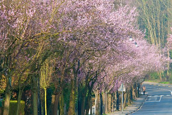 Cerisiers à Boisfort © Luc Teper