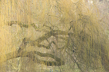 Un saule dans le Parc de Forest © Luc Teper