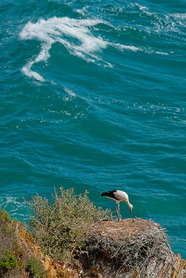 Cigogne à Zambujeira do Mar (Alentejo) ©Luc Teper