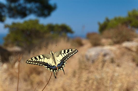 «Papilio glaucus» (aux environs de Petra) © Luc Teper