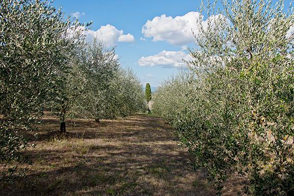 Oliviers et cyprès près de Montepulciano ©Luc Teper