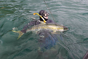 Spearfishing Kingfish
