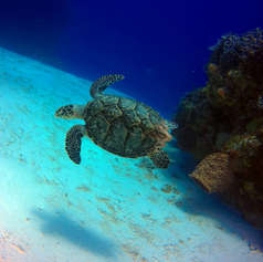 The Cozumel Turtle
