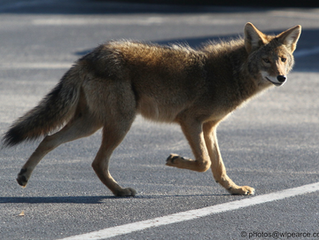 Coyotes Getting Bolder After Dry Spell