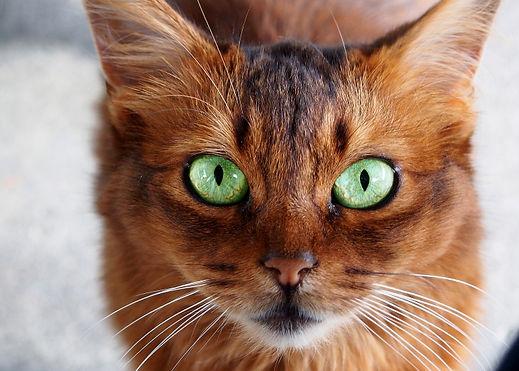 Somali-cat.jpg