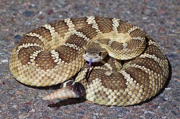 Rattlesnake Bites: What to do and FAQ