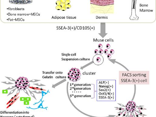 Células Madre MUSE recuperacion y regeneracion posterior al COVID-19