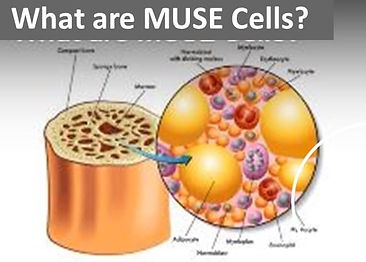 muse cell.jpg
