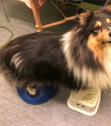 Hundfitness & Rehab FAnny Häggström AB. Hundmassage Hundfysioterapeut Sundsvall