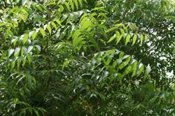 Neem_Tree_Thendral.JPG