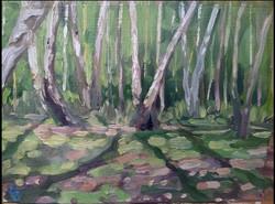 birches backlit