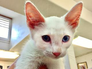 Complete Heterochromia: The odd-eyed cats
