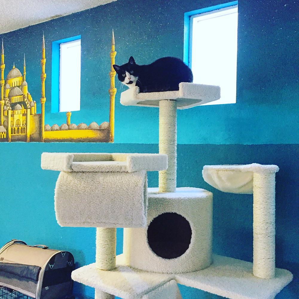 Cat guest enjoys cat trees