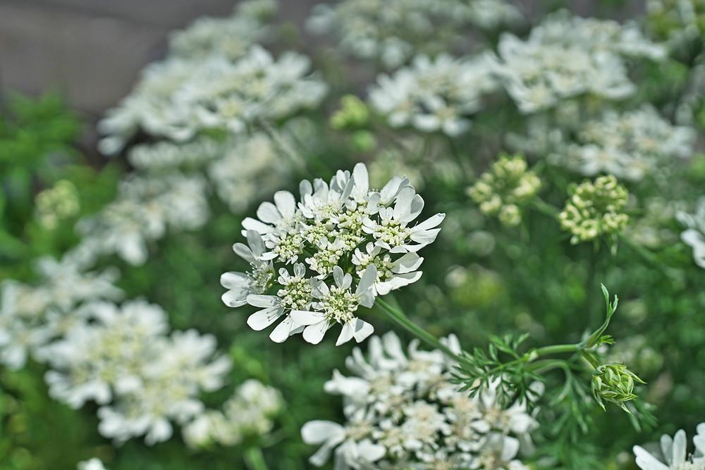 orlaya grandiflora flowers