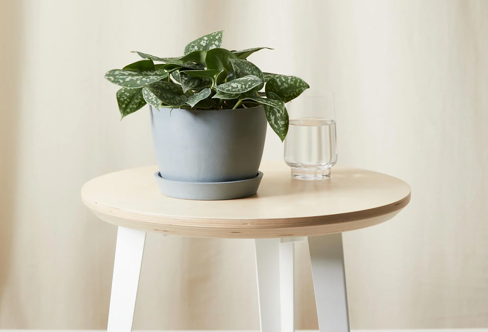 A silver pothos plant from Bloomscape.