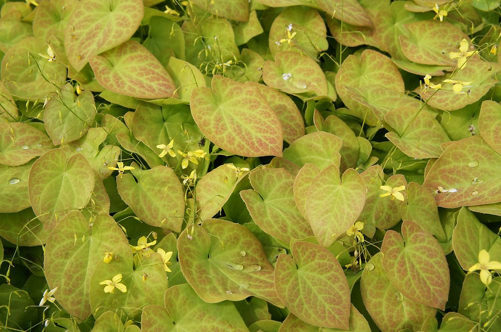 yellow epimedium with red-tinged foliage.