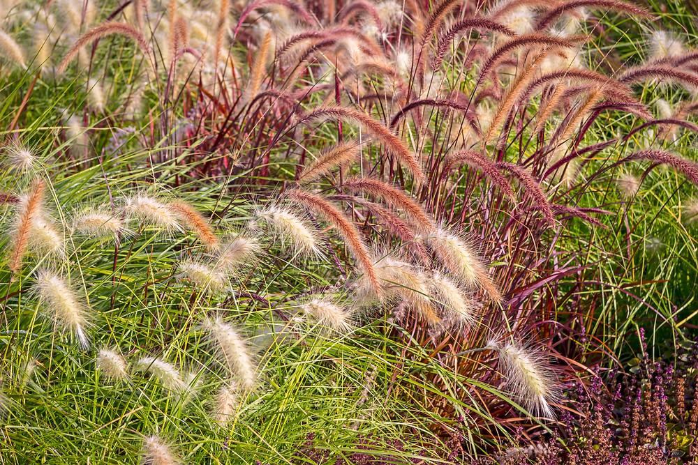 "Pennisetum ""Rubrum"" and ""Hameln"" ornamental grasses."