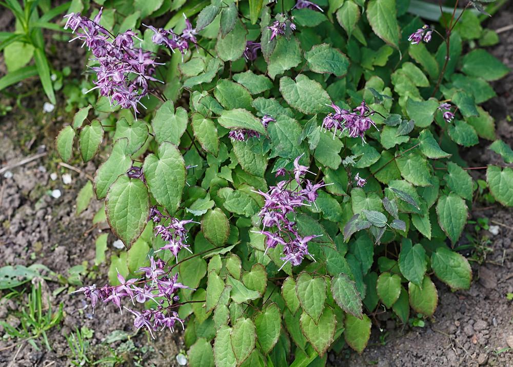 """epimedium grandifolium """"Lilafee"""" blooming in spring."""