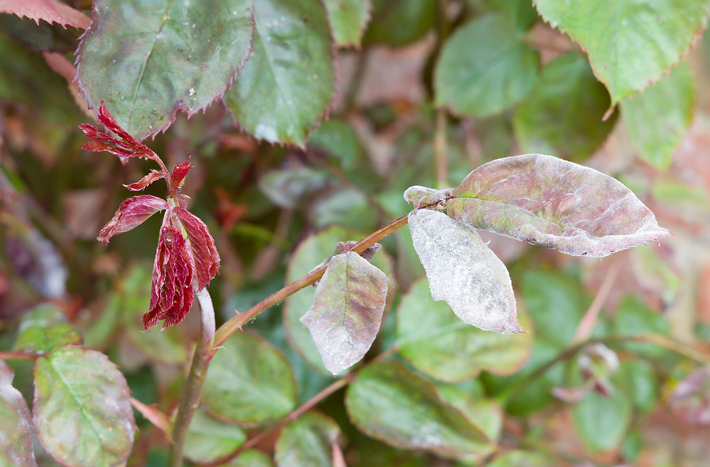 Powdery mildew on a rose bush. Image by Paul Maguire courtesy iStock.