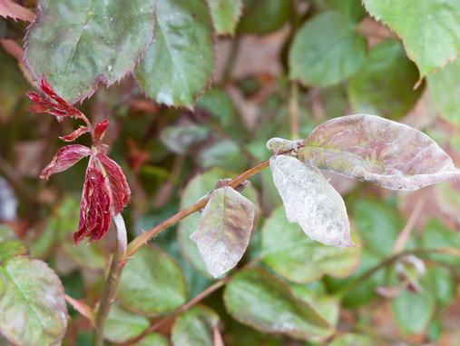 Plant Rx: How to Treat + Prevent Powdery Mildew