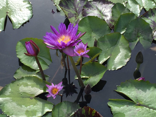 Plant Lore: Water Lilies