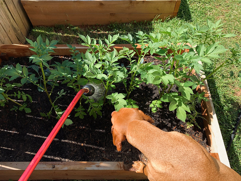 Penny examines my watering techniques on our rapidly-growing potatoes.