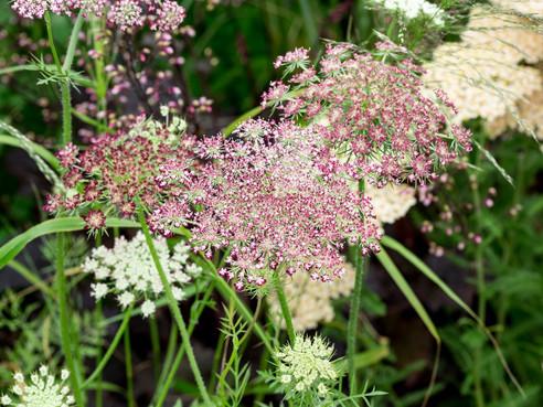 Umbels: The Secret Ingredient to Your Wildflower or Cottage Garden