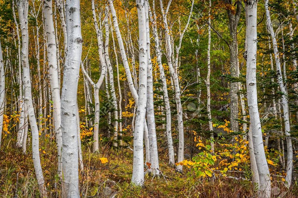 Paperbark birch trees in autumn